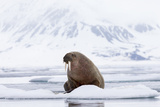 Arctic  Norway  Svalbard  Spitsbergen  Pack Ice  Walrus Walrus on Ice Floes