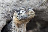 Ecuador  Galapagos Islands  Plaza Sur  Land Iguana  Female Land Iguana at the Mouth of Her Den