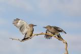 Arizona  Buckeye Two Gila Woodpeckers Interact on Dead Branch