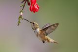 Rufous Hummingbird Juvenile Male Feeding