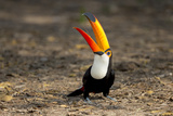 Brazil  Mato Grosso  the Pantanal Toco Toucan Feeding on Insects