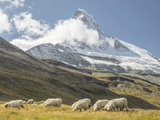 Switzerland  Zermatt  Schwarzsee  Valais Blacknose Sheep with Matterhorn
