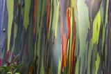 Hawaii  Maui  Rainbow Eucalyptus Trees
