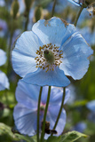 Iceland  Akureyri Blue Poppies in the Botanical Garden Lystigaardur