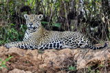 Brazil  Mato Grosso  the Pantanal  Jaguar Resting on the Bank of the Cuiaba River