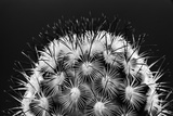 Black and White Pattern of Small Cactus Spines