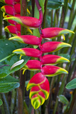 Heliconia Flowering in the Highlands of Papua New Guinea  Papua New Guinea