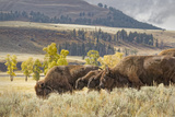 Herd of Bison in Fall  Lamar Valley  Yellowstone National Park  Wyoming