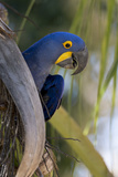 Brazil  Mato Grosso  the Pantanal  Hyacinth Macaw on Palm Branch