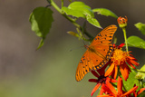 Gulf Fritillary Butterfly Nectaring on Flowers