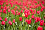 One Yellow Tulip in a Field of Red Tulips  Skagit Valley  Washington