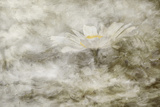 Composite Image of Oxeye Daisy and Texture  Louisville  Kentucky  Leucanthemum Vulgare