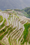 Dragon Spine Rice Terraces  Longsheng  China