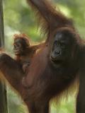Mother Orangutan and Baby  Sabah  Malaysia