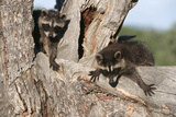 Young Raccoons in Tree  Montana