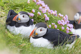 Atlantic Puffin Scotland  Shetland Islands