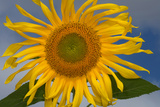 California Hybrid Sunflower
