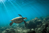 Green Sea Turtle Swimming Off the North Shore of Oahu  Hawaii