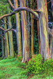 Hawaii  Maui  Rainbow Eucalyptus Trees