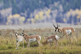 Pronghorn Antelope Buck and Does