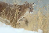 Mountain Lion over its Prey  Montana  Usa