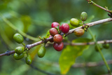 Close-Up of Coffee Beans in the Highlands of Papua New Guinea  Papua New Guinea