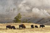 Herd of Bison Near Old Faithful Geyser Upper Geyser Basin  Yellowstone National Park  Wyoming