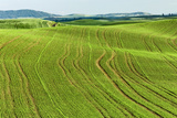 Contour Farming on Rolling Hills of Newly Planted Wheat Crop  Palouse Region of Eastern Washington