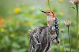 Red-Bellied Woodpecker Male in Flower Garden  Marion County  Il