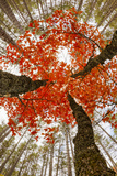 Skyward View of Maple Tree in Pine Forest  Upper Peninsula of Michigan