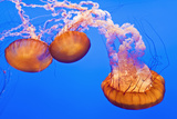 Sea Nettles  Monterey  California  Usa