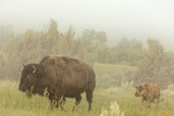 Bison in Theodore Roosevelt National Park  North Dakota  Usa