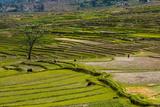 Terrace Rice Fields  Chimi Lhakhang  Bhutan