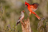 Northern Cardinal Challenging Pyrrhuloxia for Position on Feeding Log