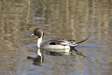 A Male Pintail Duck Glides on a Pond in a Wetland Marsh