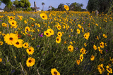Wildflowers at Rockport  Texas