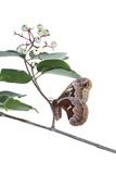 Promethea Moth Female on Gray Dogwood on White Background  Marion