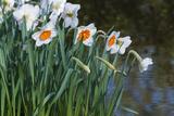 Daffodil Blooms
