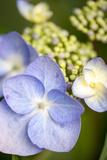 Massachusetts  Reading  Blue Lacecap Hydrangea