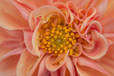 Maine  Harpswell Orange Dahlia Detail