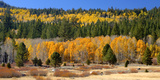 Aspens and Evergreens Brighten a Fall Day in Hope Valley  California