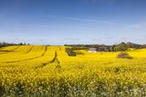 Denmark  Mon  Magleby  Farm and Rapeseed Field  Springtime  Dawn