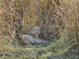Africa  Zambia Leopard Resting in Grass
