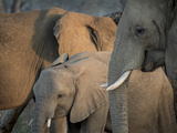 Africa  Zambia Elephant Adults and Young