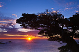 Cypress Tree at Sunset  Point Lobos State Reserve  Carmel  California  Usa
