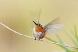 Rufous Hummingbird Male Takeoff