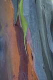 Florida  Rainbow Gum Detail of Tree Bark