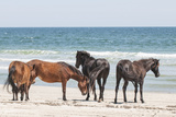 Wild Mustangs in Currituck National Wildlife Refuge  Corolla  Outer Banks  North Carolina