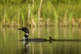 Common Loon with Newborn Chick on Small Mountain Lake Near Whitefish  Montana  Usa