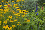 Flower Garden with Black-Eyed Susans and Black and Blue Salvias  Marion County  Il